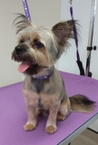 Louis the Chorkie after his groom