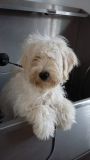 Barnie the Tibetan Terrier x Miniature Schnauzer before his first groom